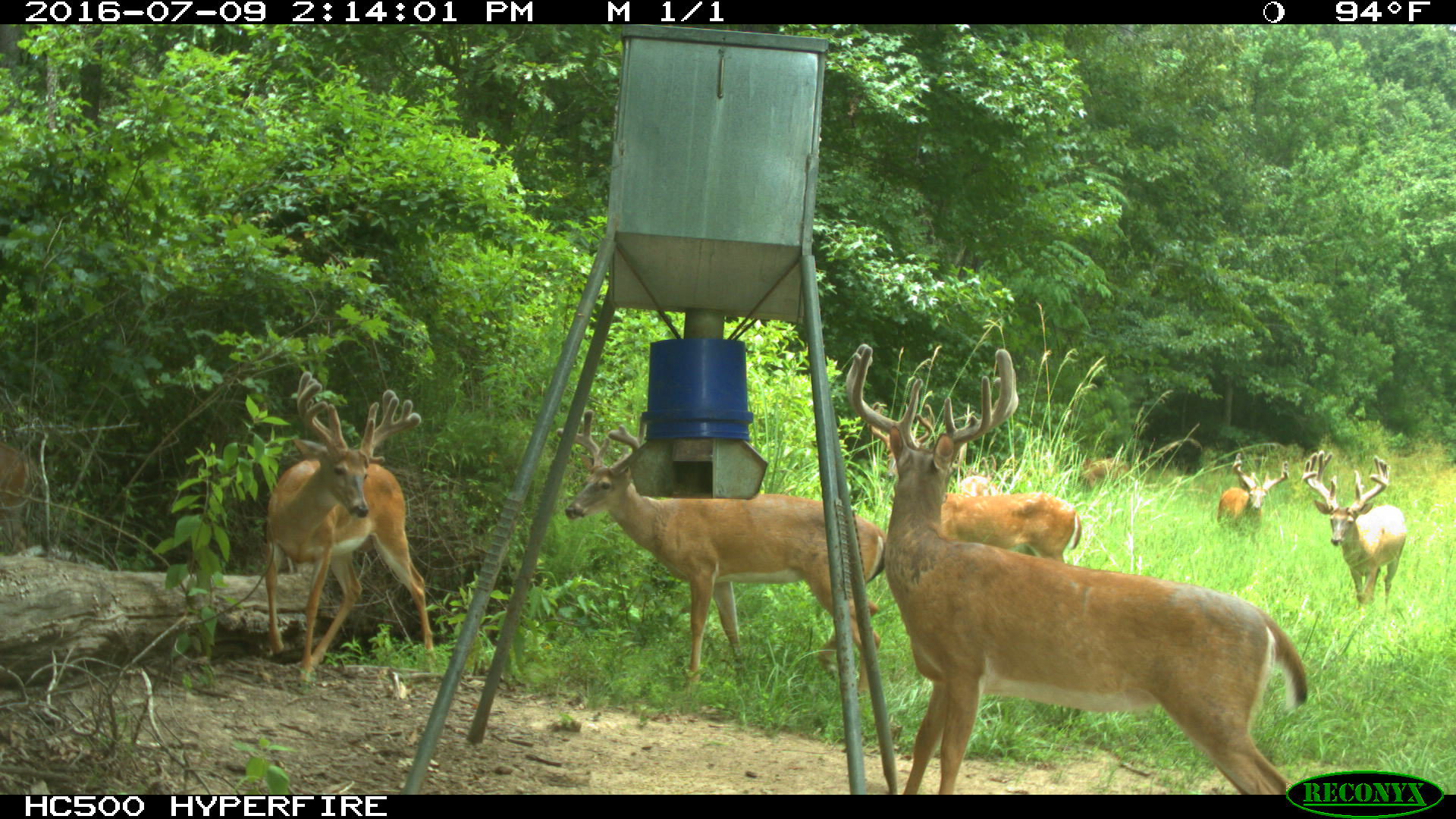 boss feeder finally deer review protein this out feeders feeding a buck image report habitat wildlife updated